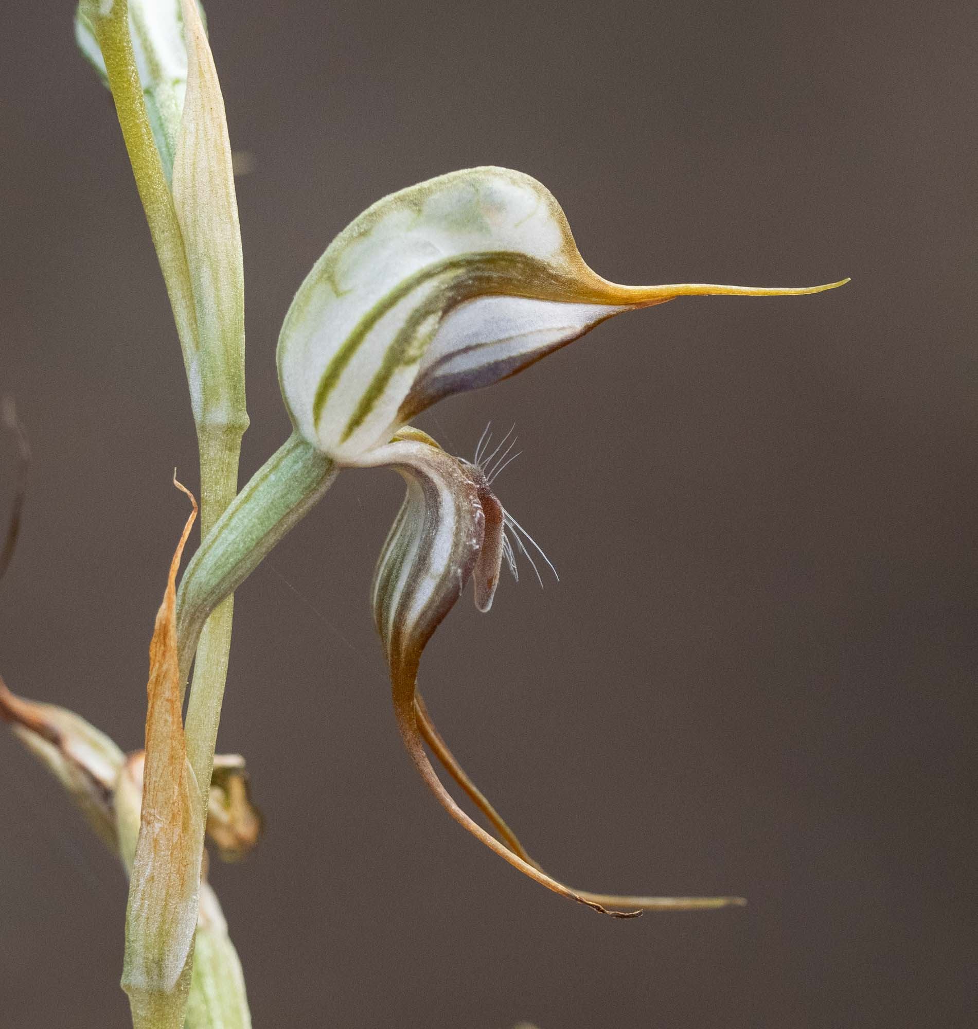 Pterostylis sp.  … a 'Bird Orchid' of some kind