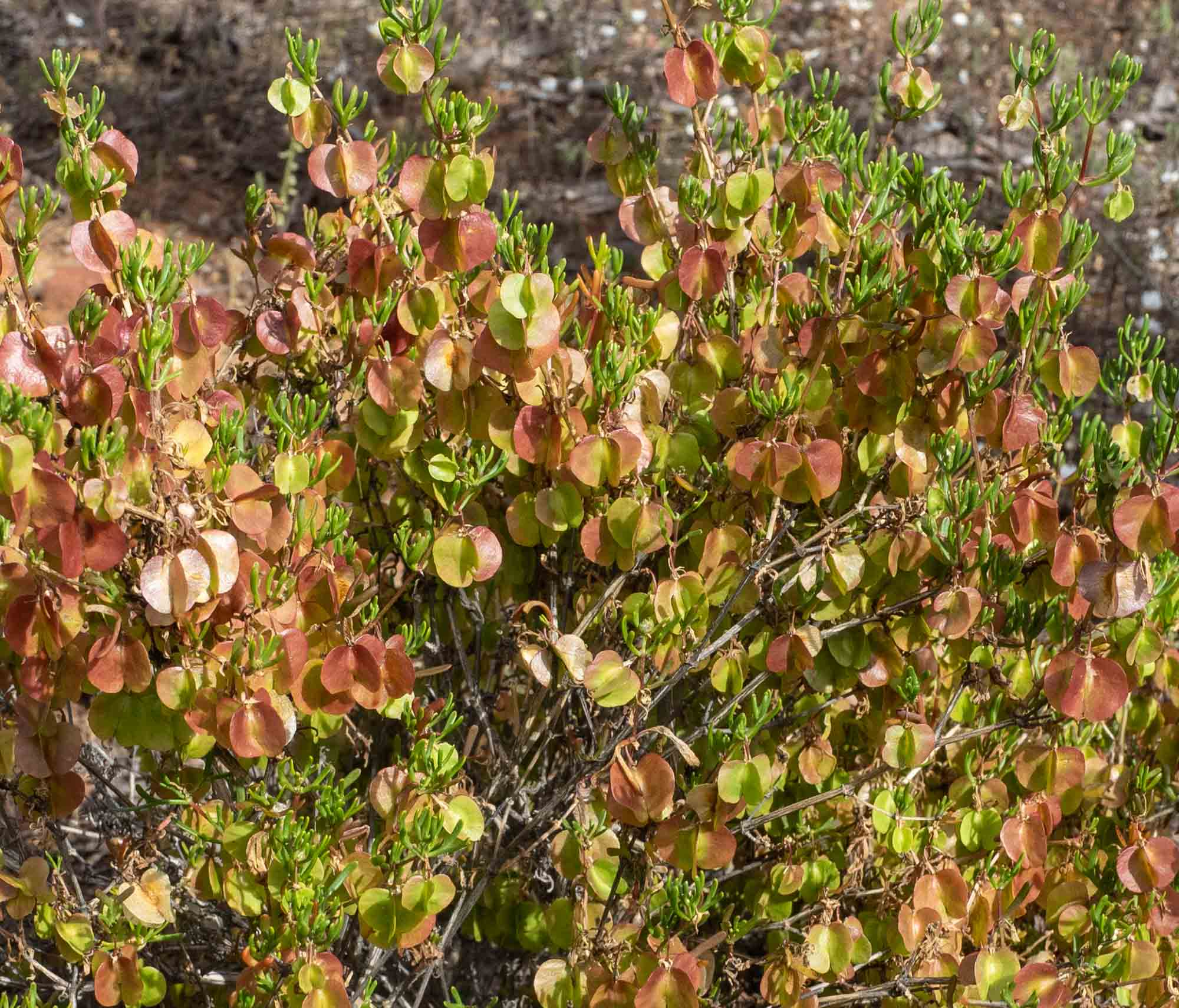 There is a species of Hop Bush ( Dodonaea)  endemic to the Gawler Ranges … not sure if this is the one.