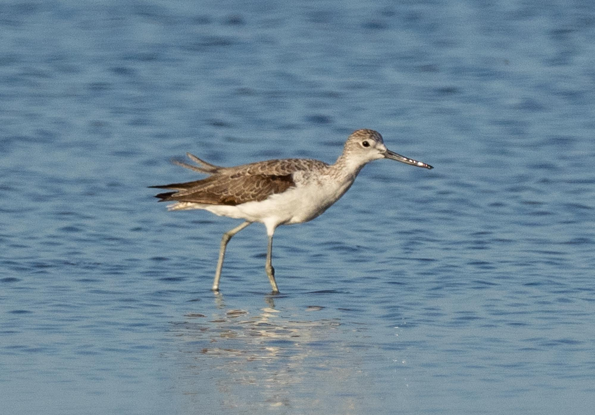 Common Greenshank … this is a juvenile, just arrived on its first visit to Australia from the breeding grounds in Siberia.