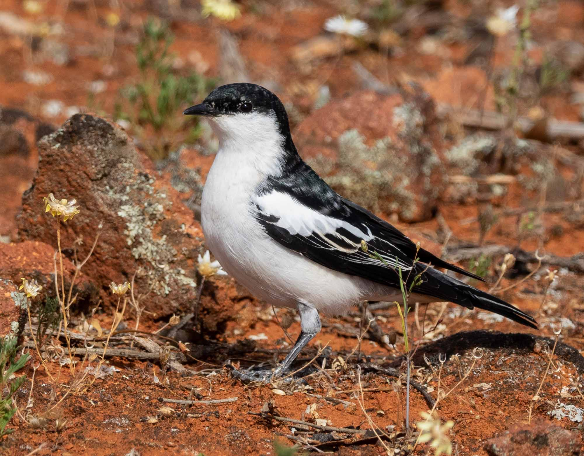 White-winged Triller - male