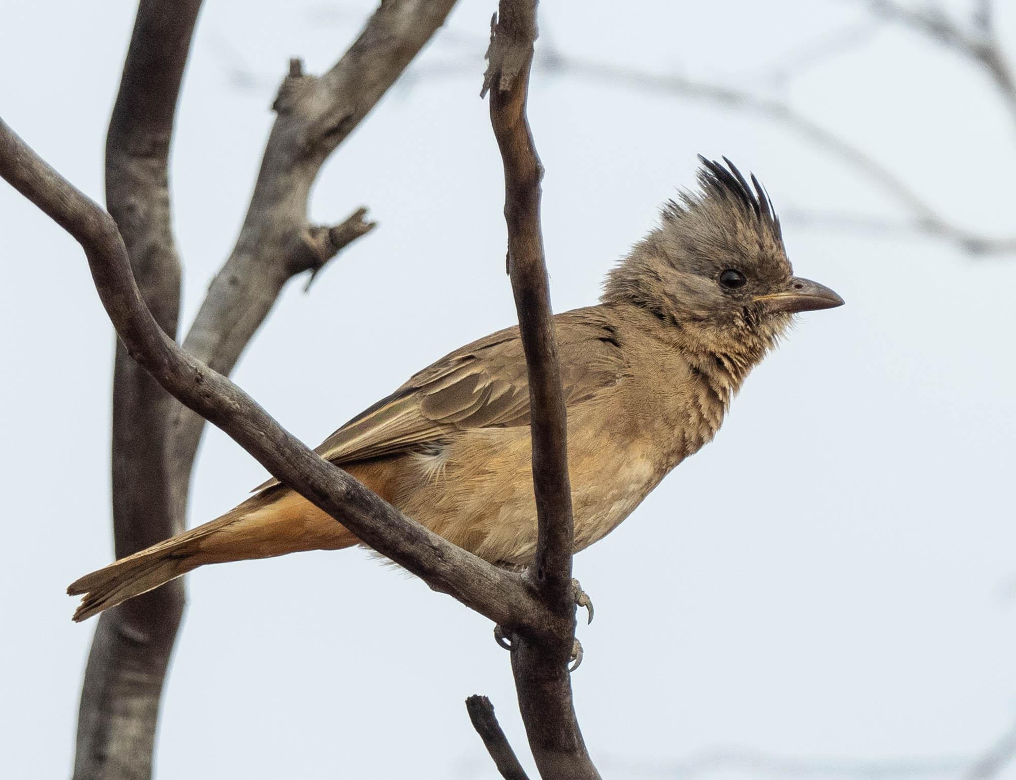 Crested Bellbird - juvenile