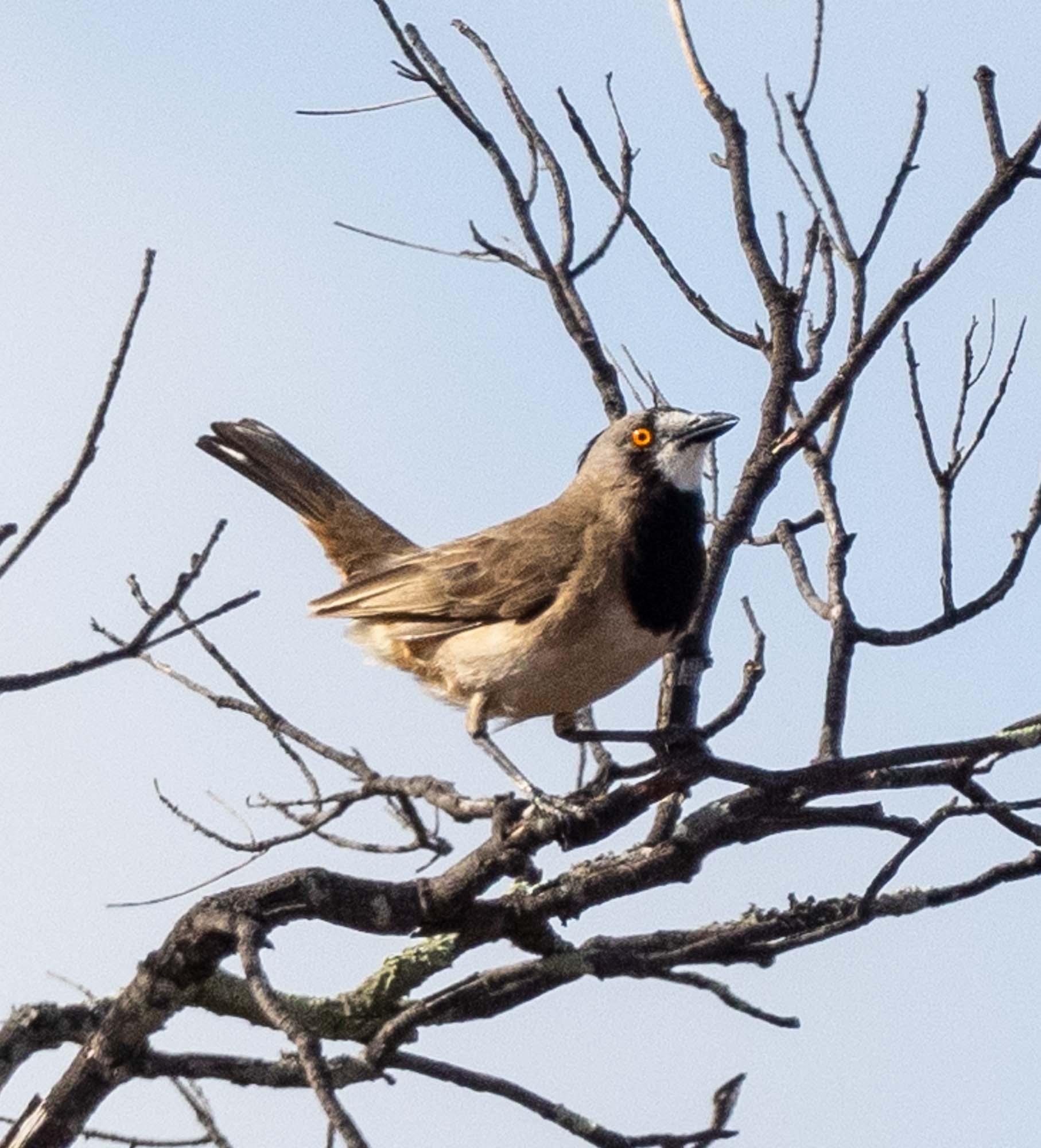 Crested Bellbird - male