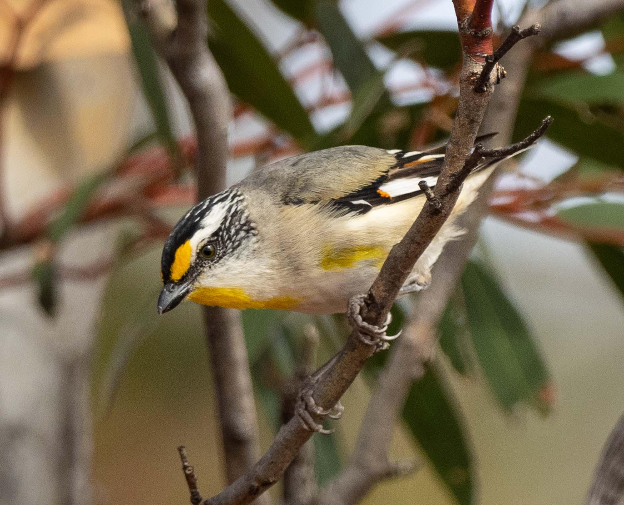 Striated Pardalote, nesting alongside the Tree Martins