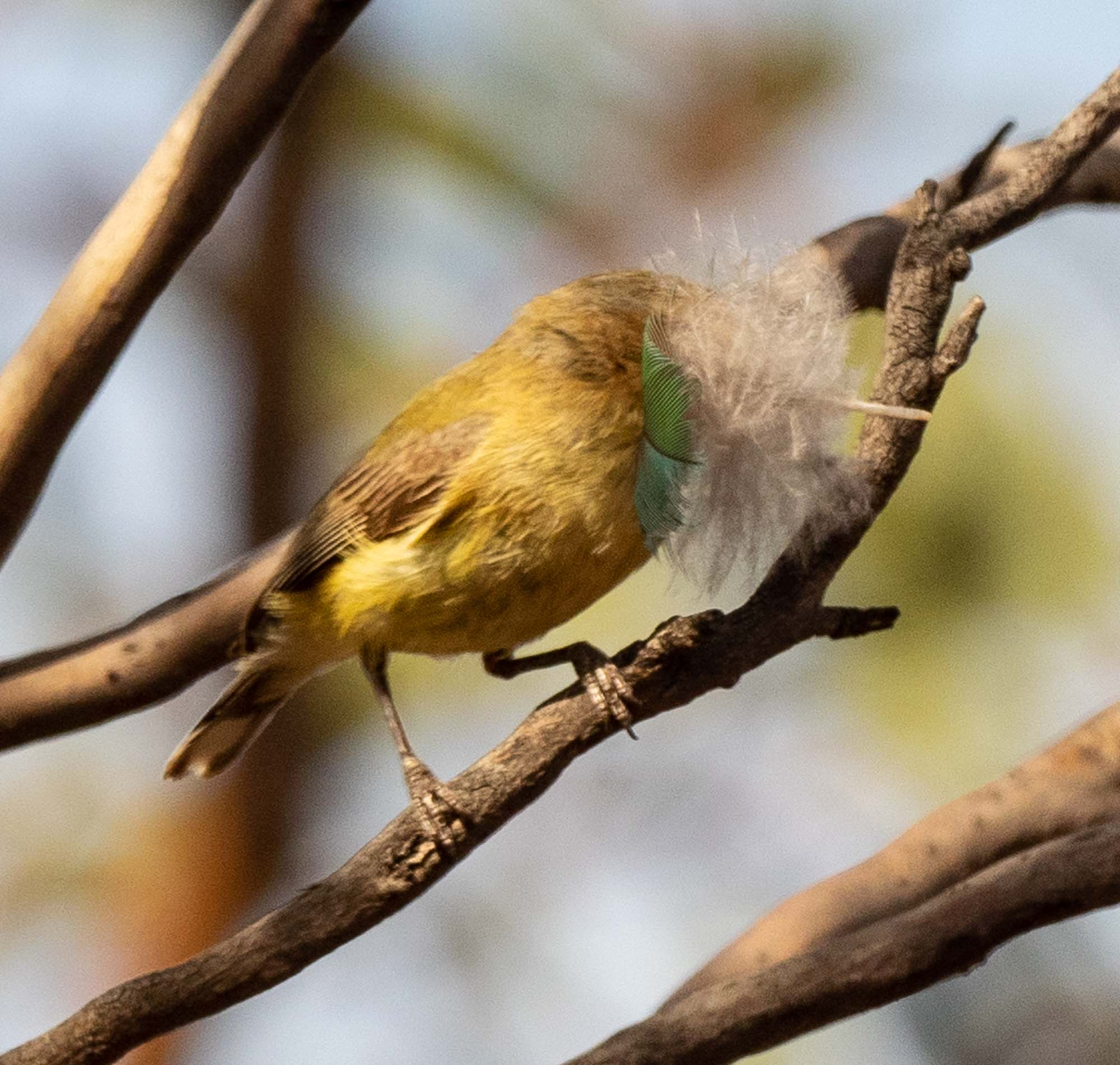 nest-building Weebill, with a prized feather