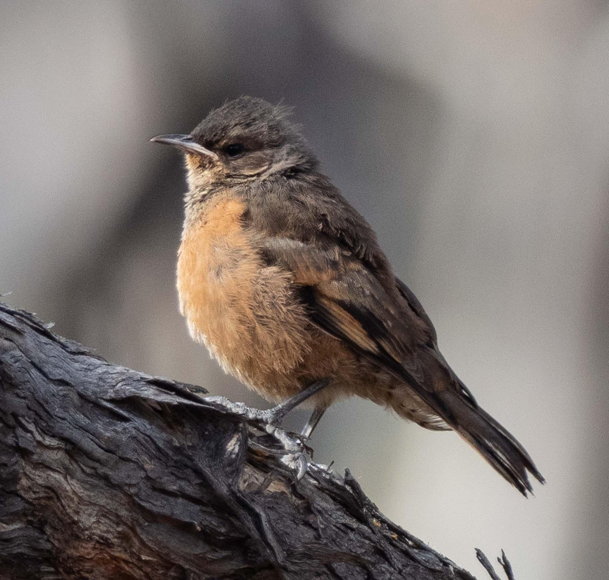 Rufous Treecreeper - juvenile