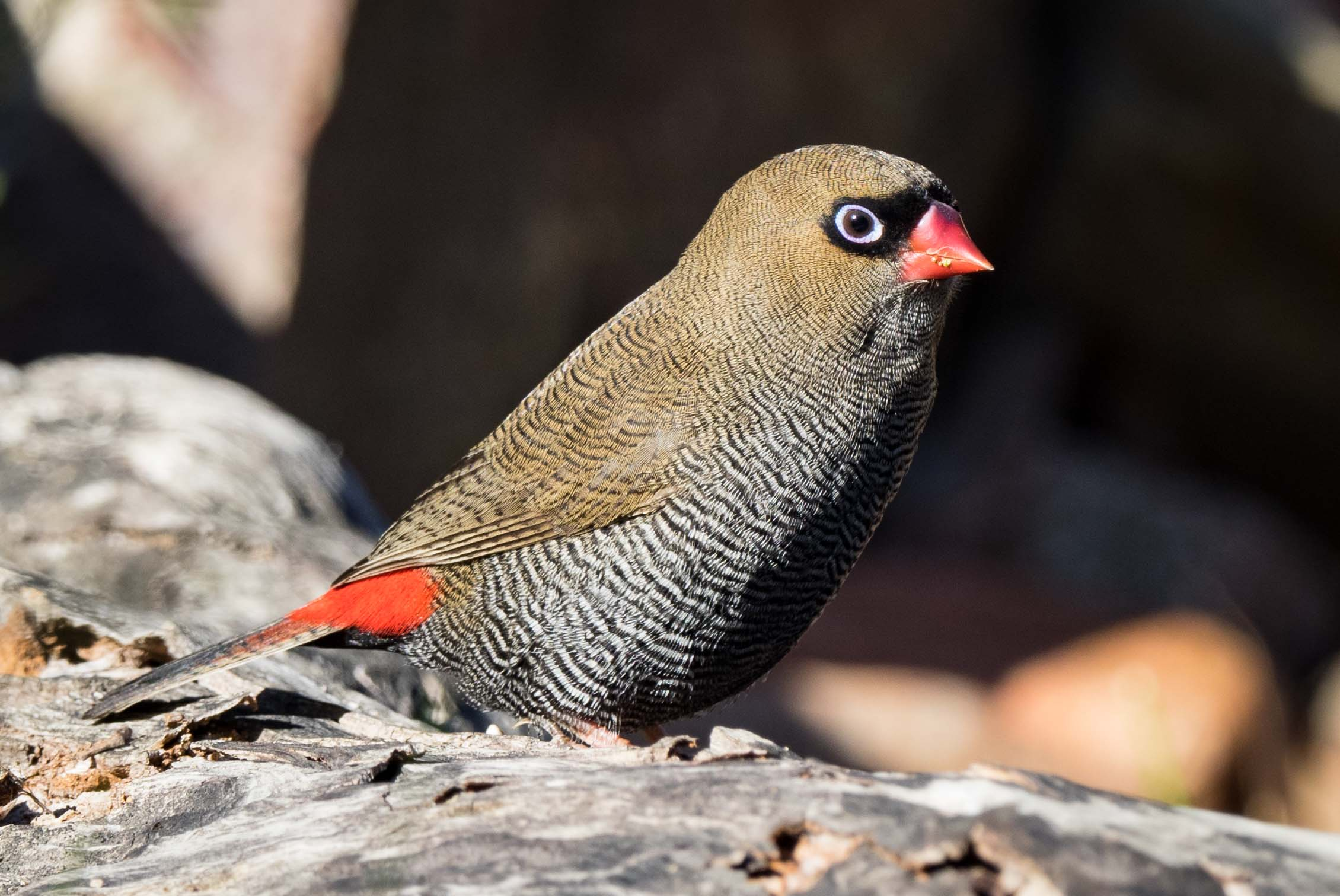 Beautiful Firetail, Stagonopleura bella