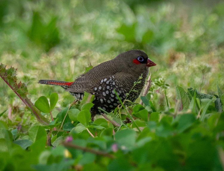 Red-eared Firetail, Stagonopleura oculata