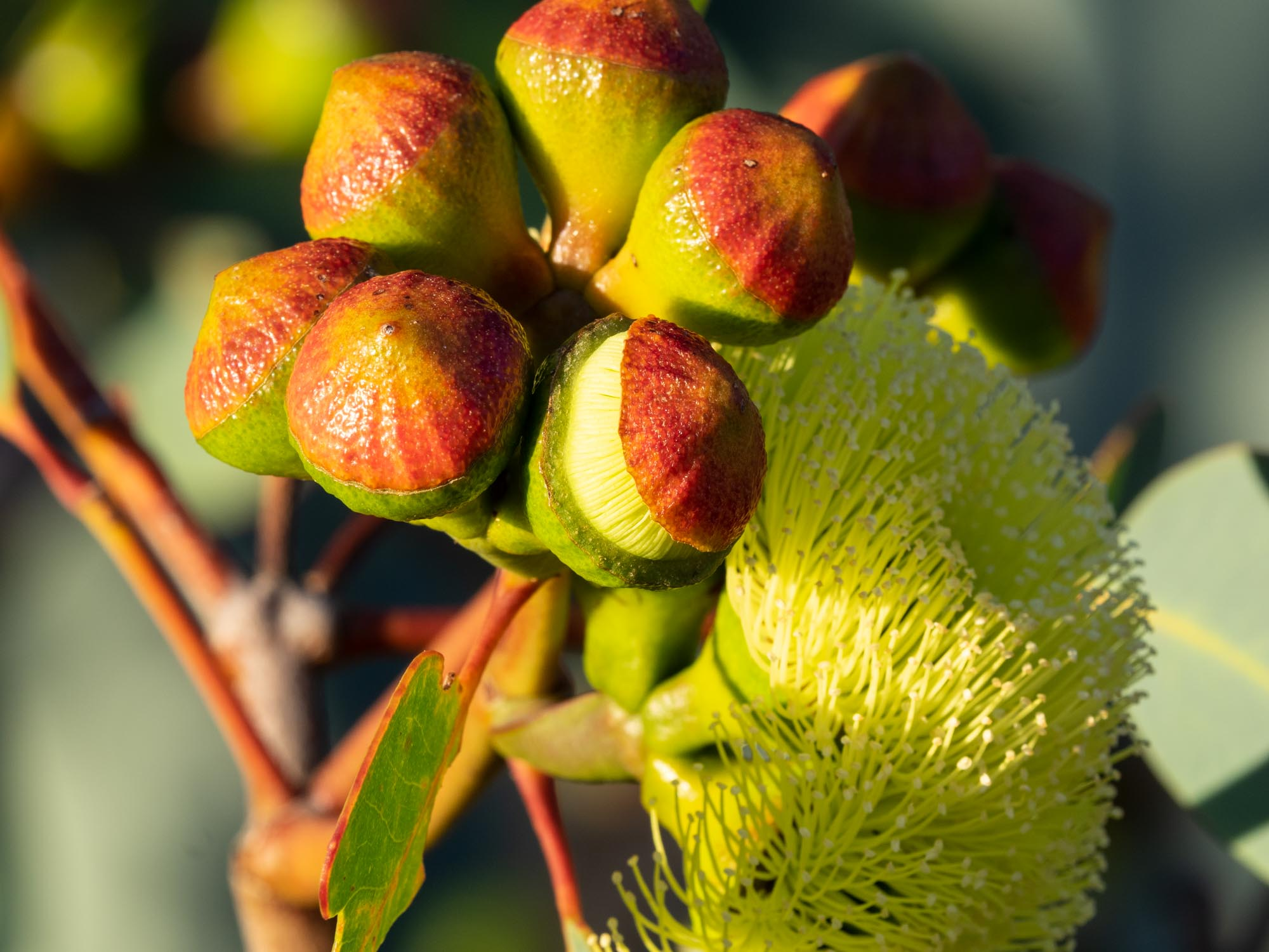 Eucalyptus preissiana (Bell-fruited Mallee)