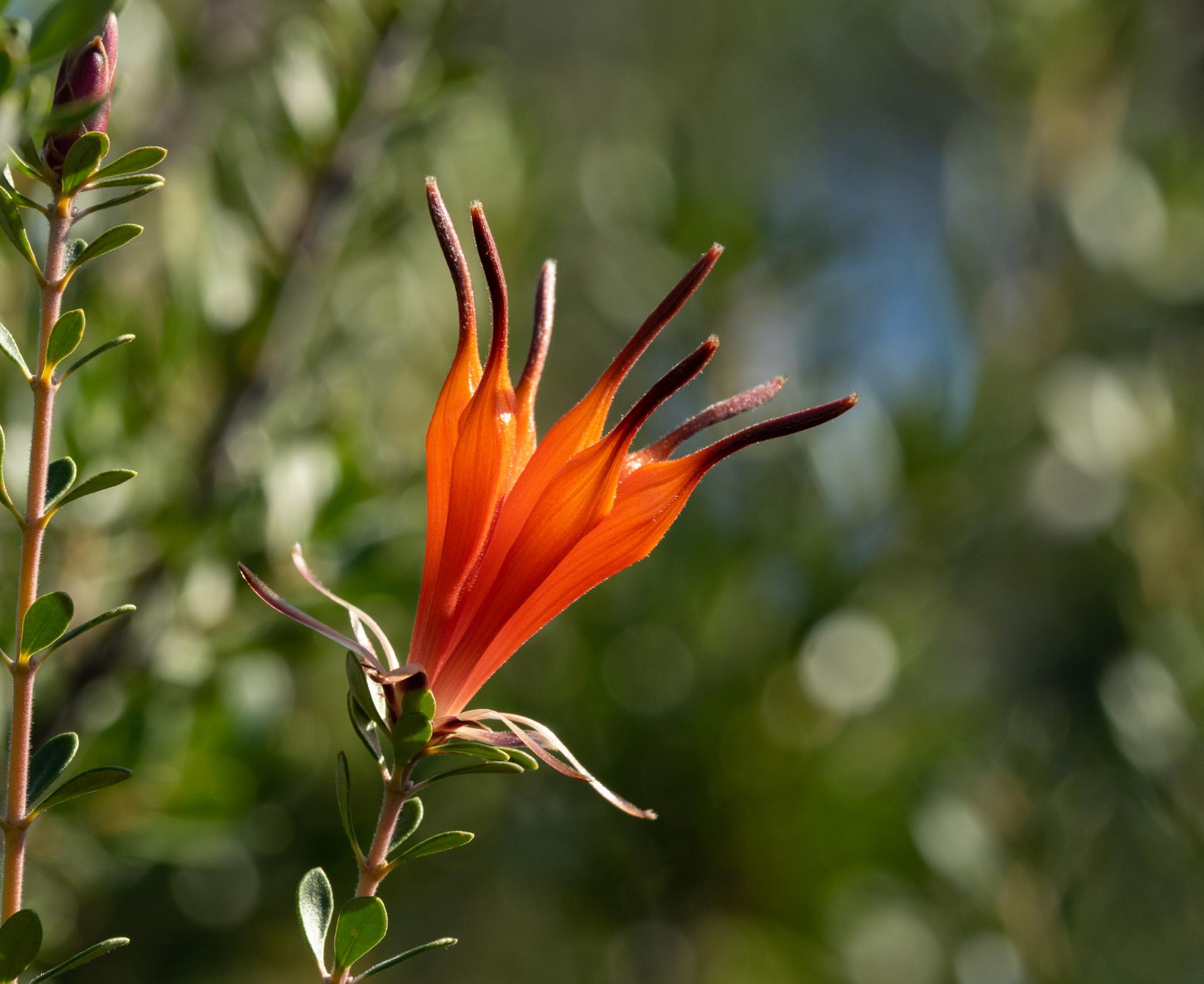 Lambertia inermis (Chittick)