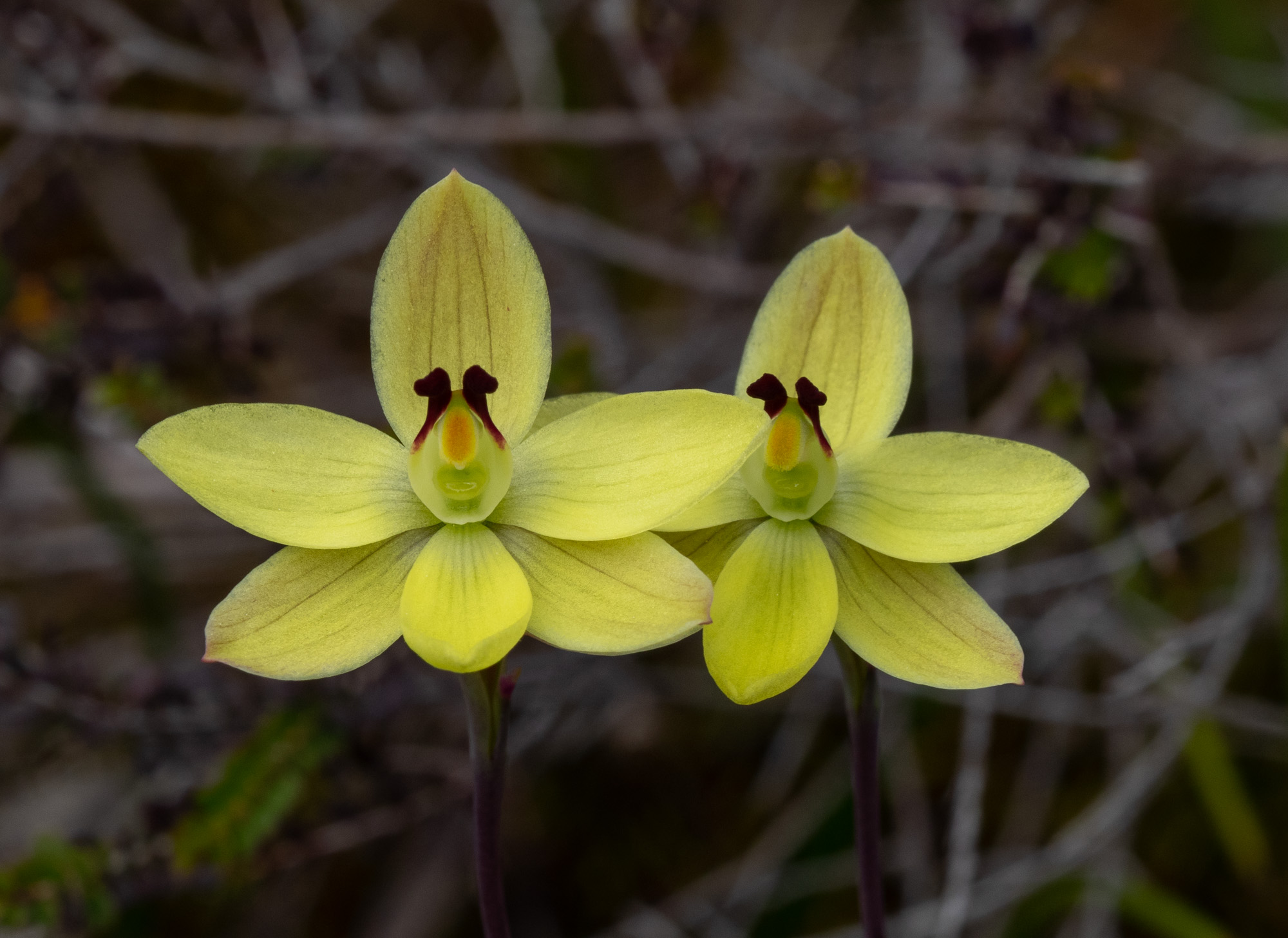 Thelymitra antennifera (Lemon-scented Sun Orchid)