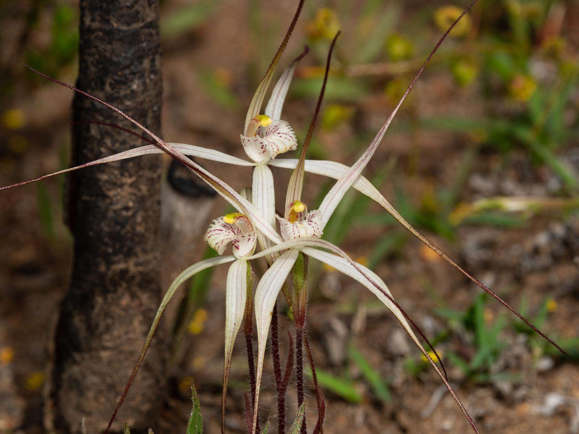Caladenia microchila (Western Wispy Spider Orchid)