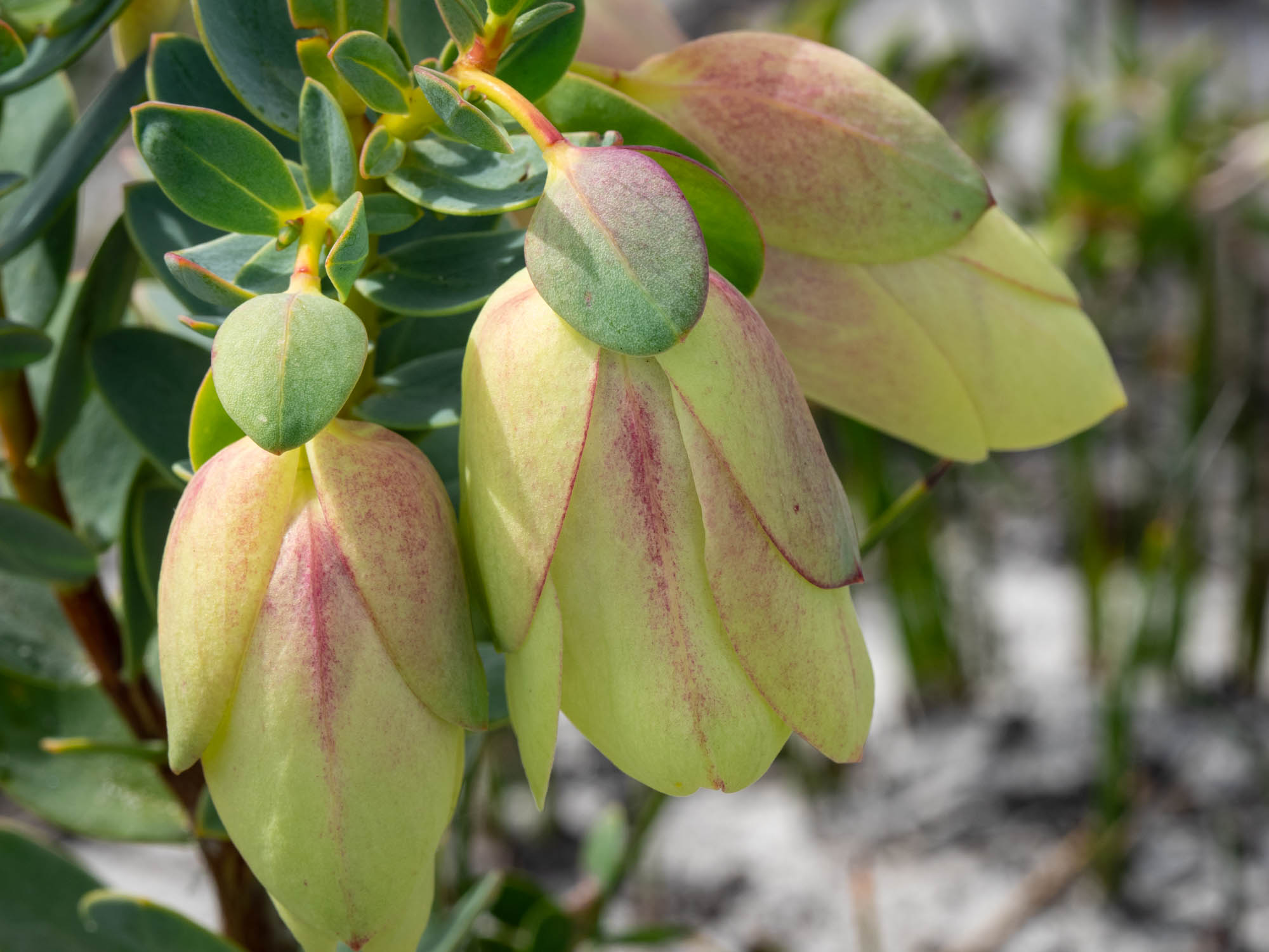 Pimelea physodes (Quaalup Bell)