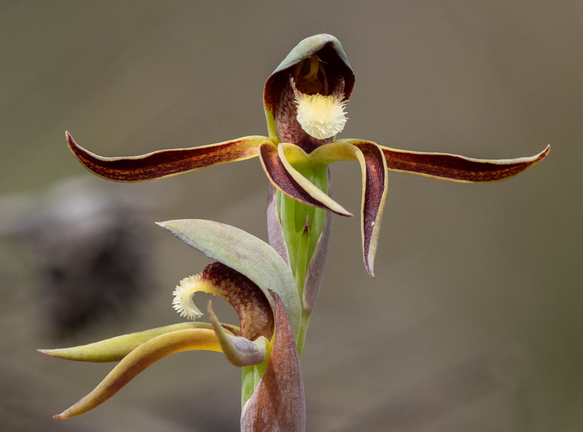 Lyperanthus serrates (Rattlebeaks)