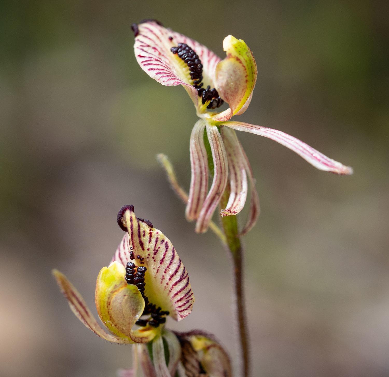 Caladenia cairnsiana (Zebra Orchid)