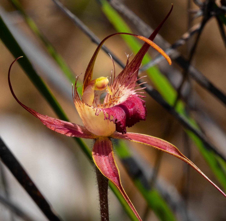 Caladenia ferruginea (Rusty Spider Orchid)