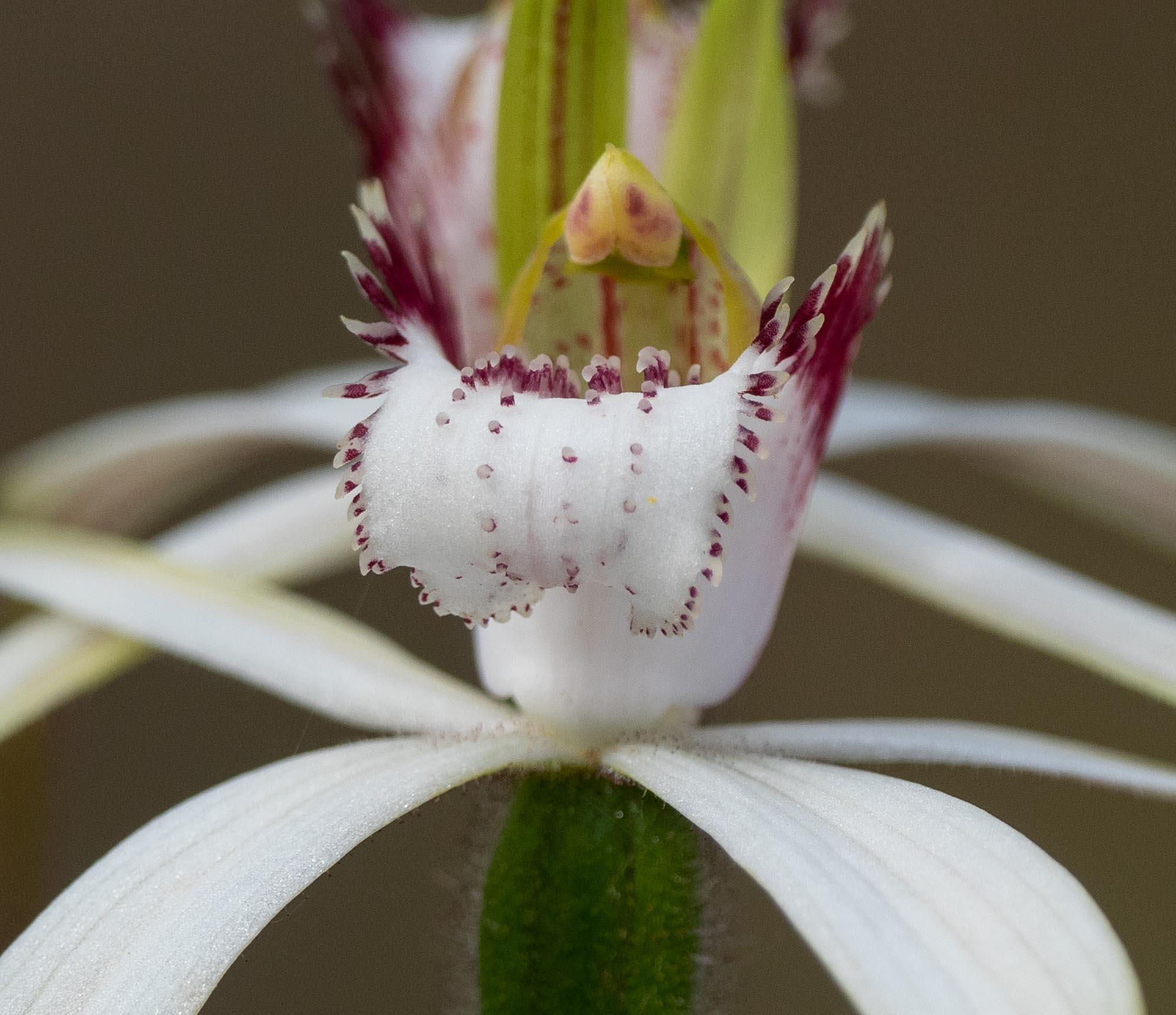 Caladenia splendens (Splendid White Spider Orchid)