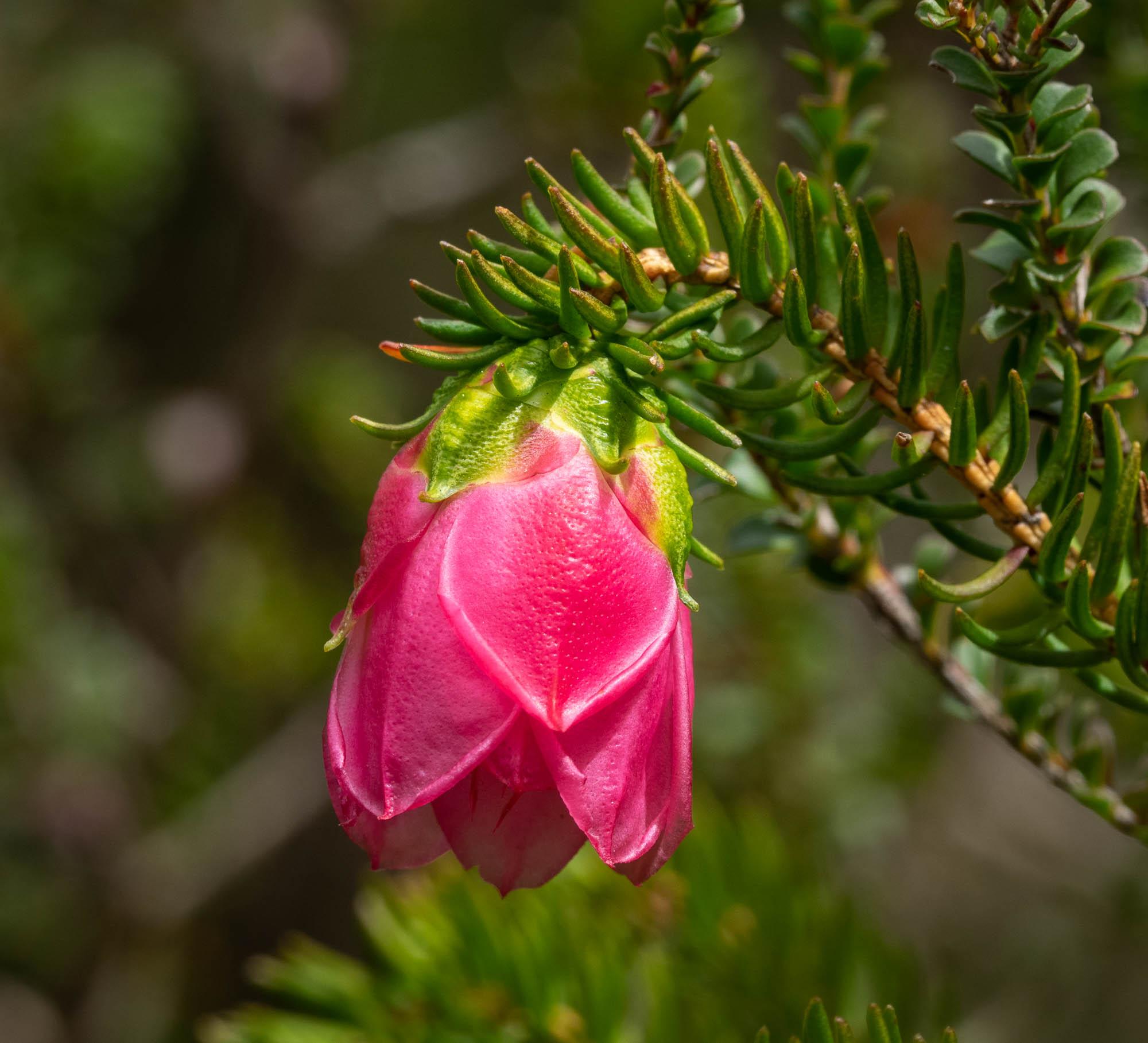 Darwinia lejostyla (Mountain Bell)
