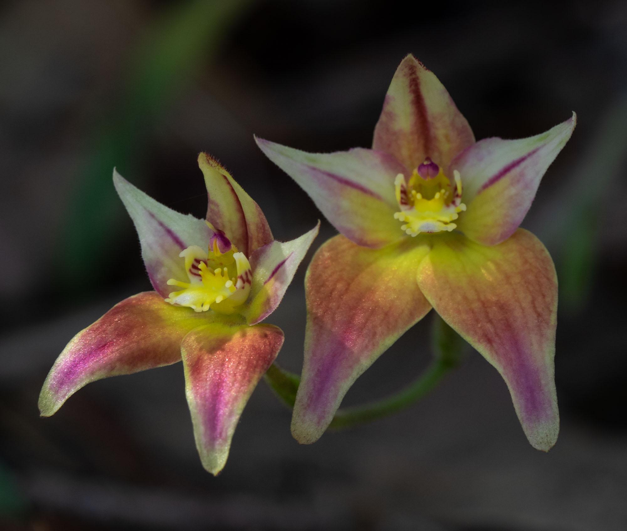 Caladenia hybrid, Cowslip x Pink Fairy