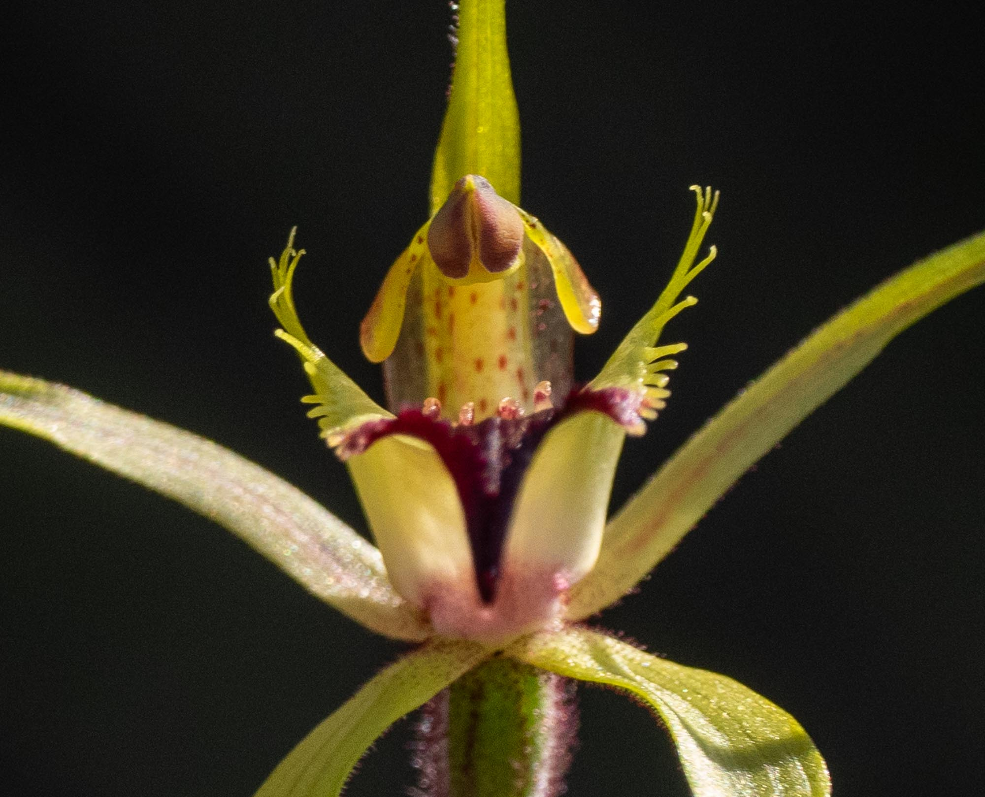 Caladenia infundibularis (Funnel-tipped Spider Orchid)