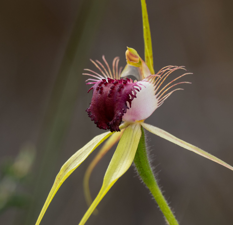 Caladenia thinicola (Scott River Spider Orchid)