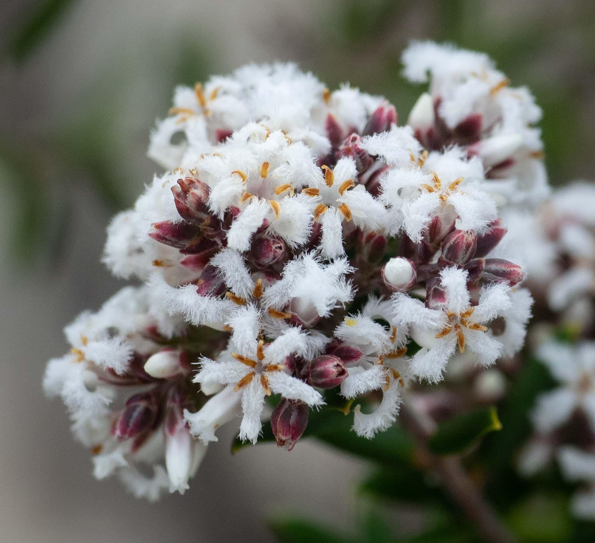 Leucopogon sp.