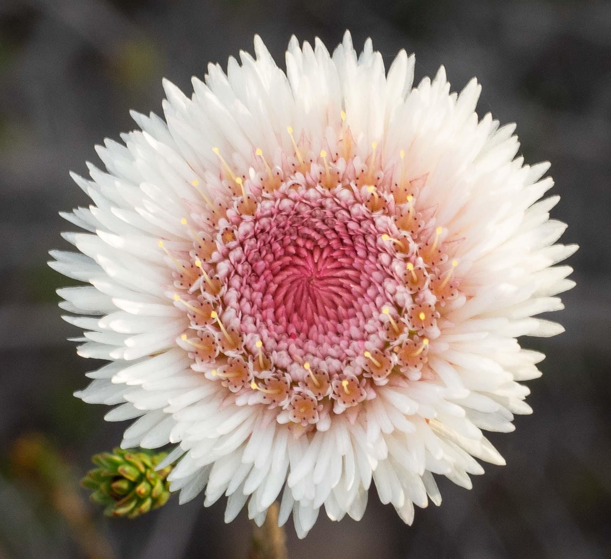 Actinodium cunninghamii (Swamp Daisy)