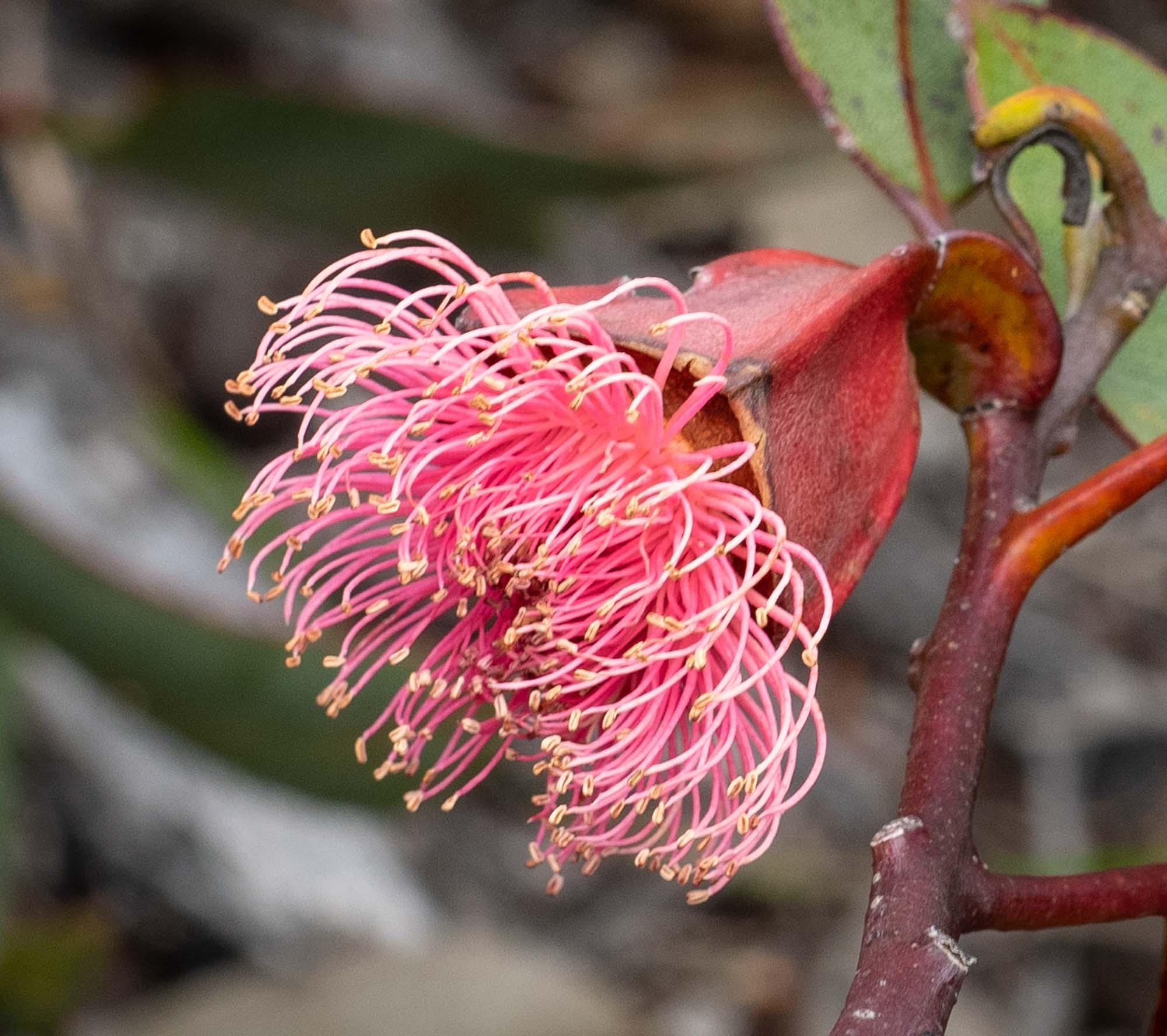 Eucalyptus tetraptera (Square-fruited Mallee)