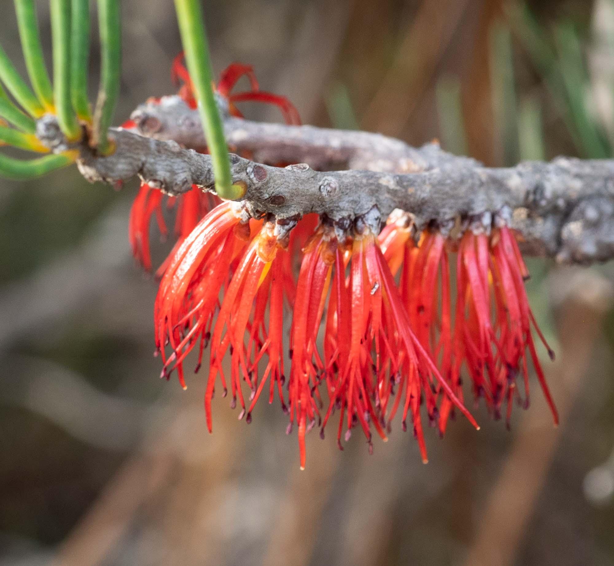 Calothamnus gracilis (One-sided Bottlebrush)