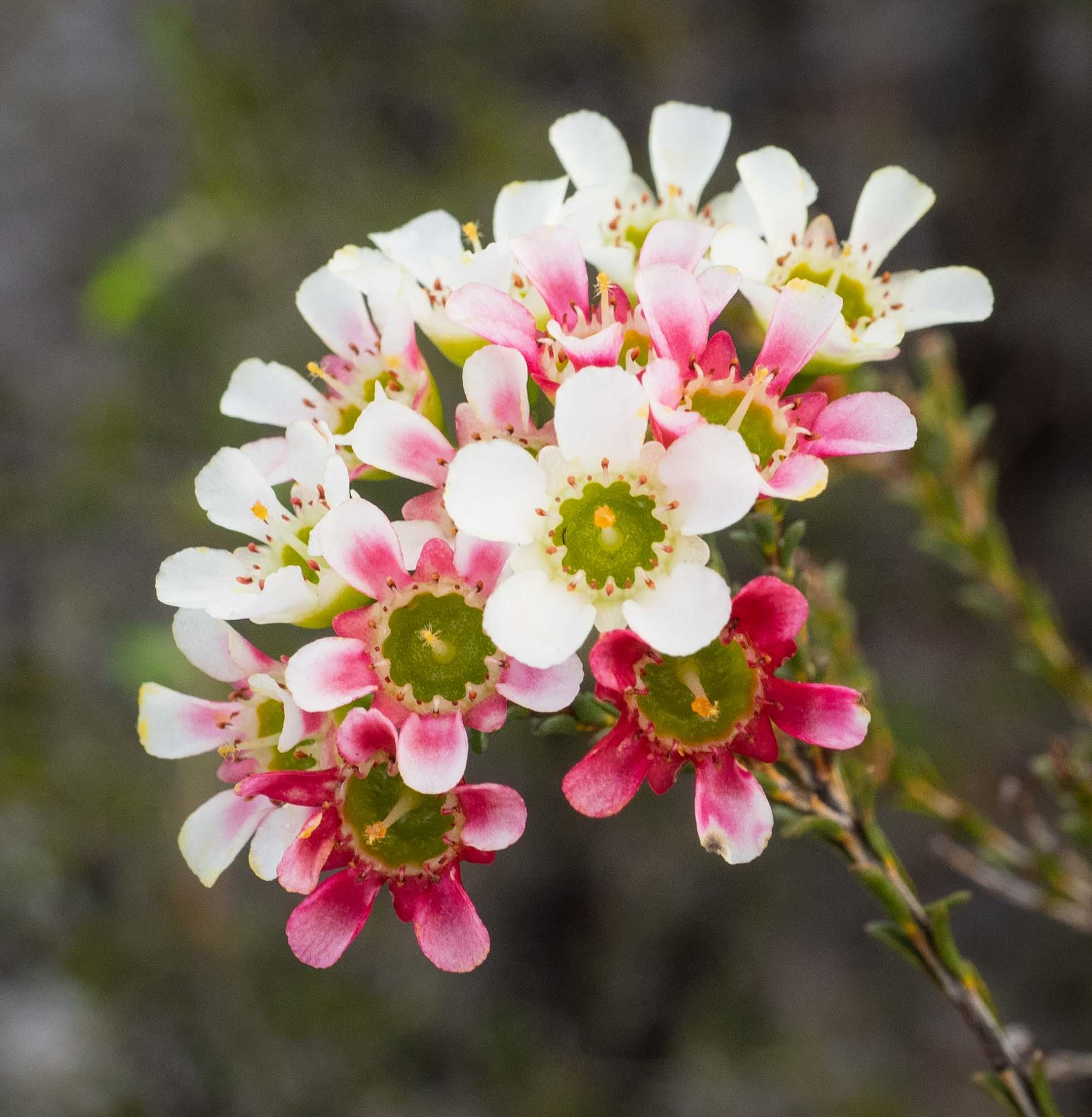 Chamelaucium megalopetalum (Large Waxflower)