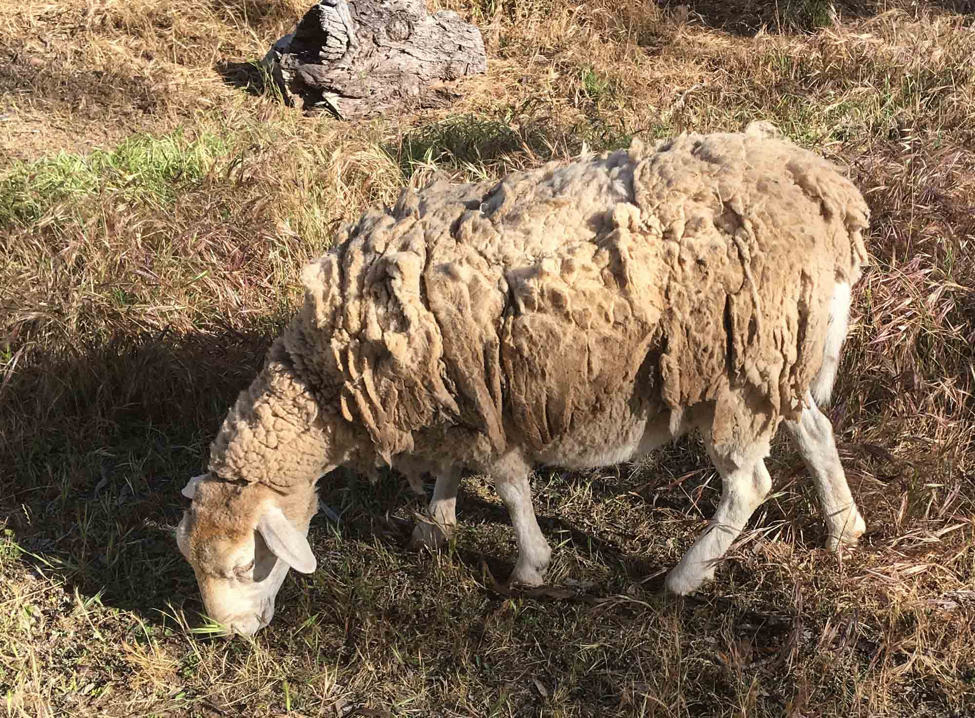This old girl had two lambs in tow. She was part of a small flock that regularly stampeded through camp, on their way to the water trough … which just happened to be right outside the shower block! Her coat looks well overdue for a clip, but she seemed happy enough.