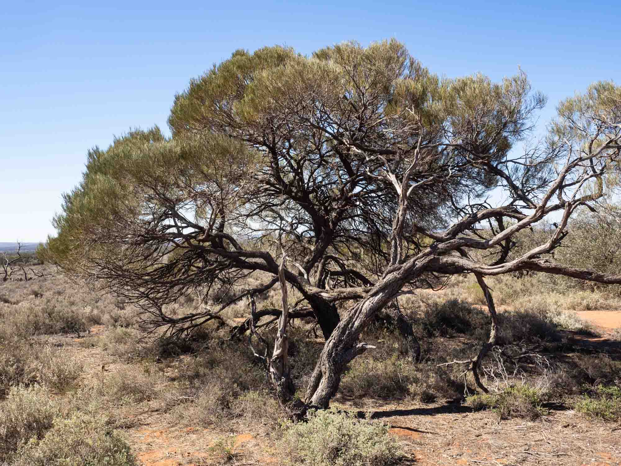 This bush may be 300 years old. Western Myall, with its understorey of Bluebush, is reportedly the preferred habitat of the Western Grasswren.