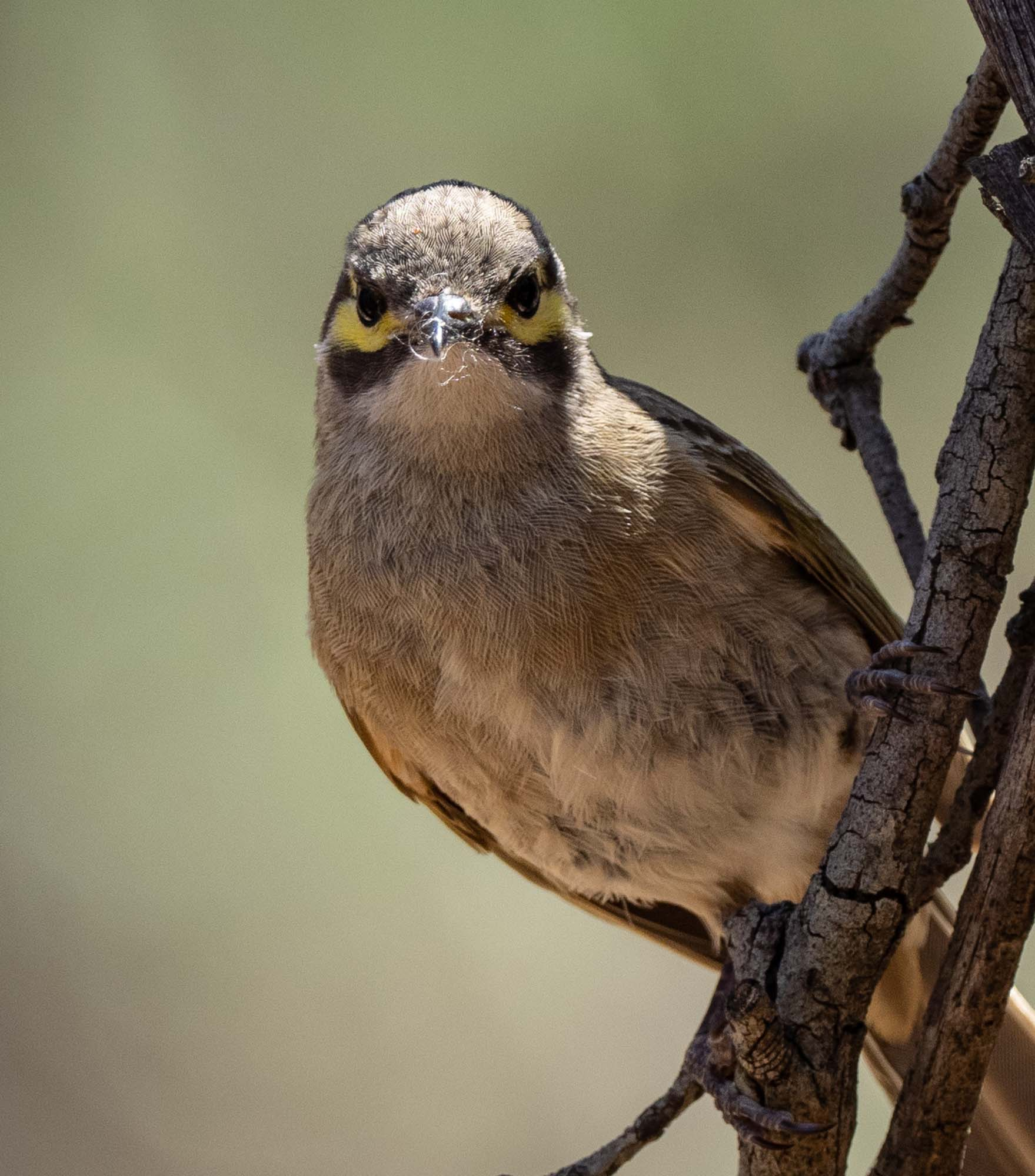 ... with a mouthful of nesting material