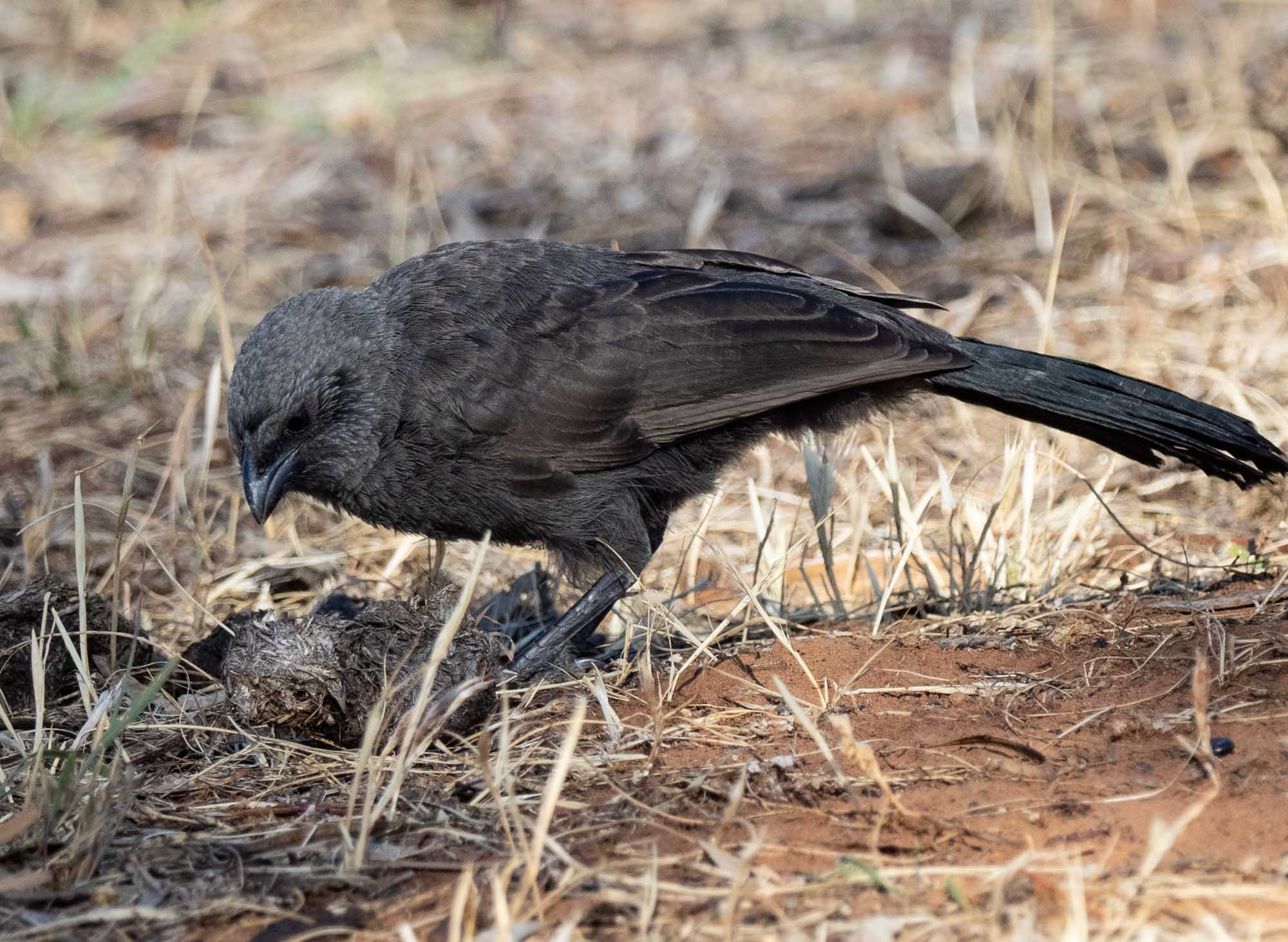 Apostlebird - just one of a large troupe