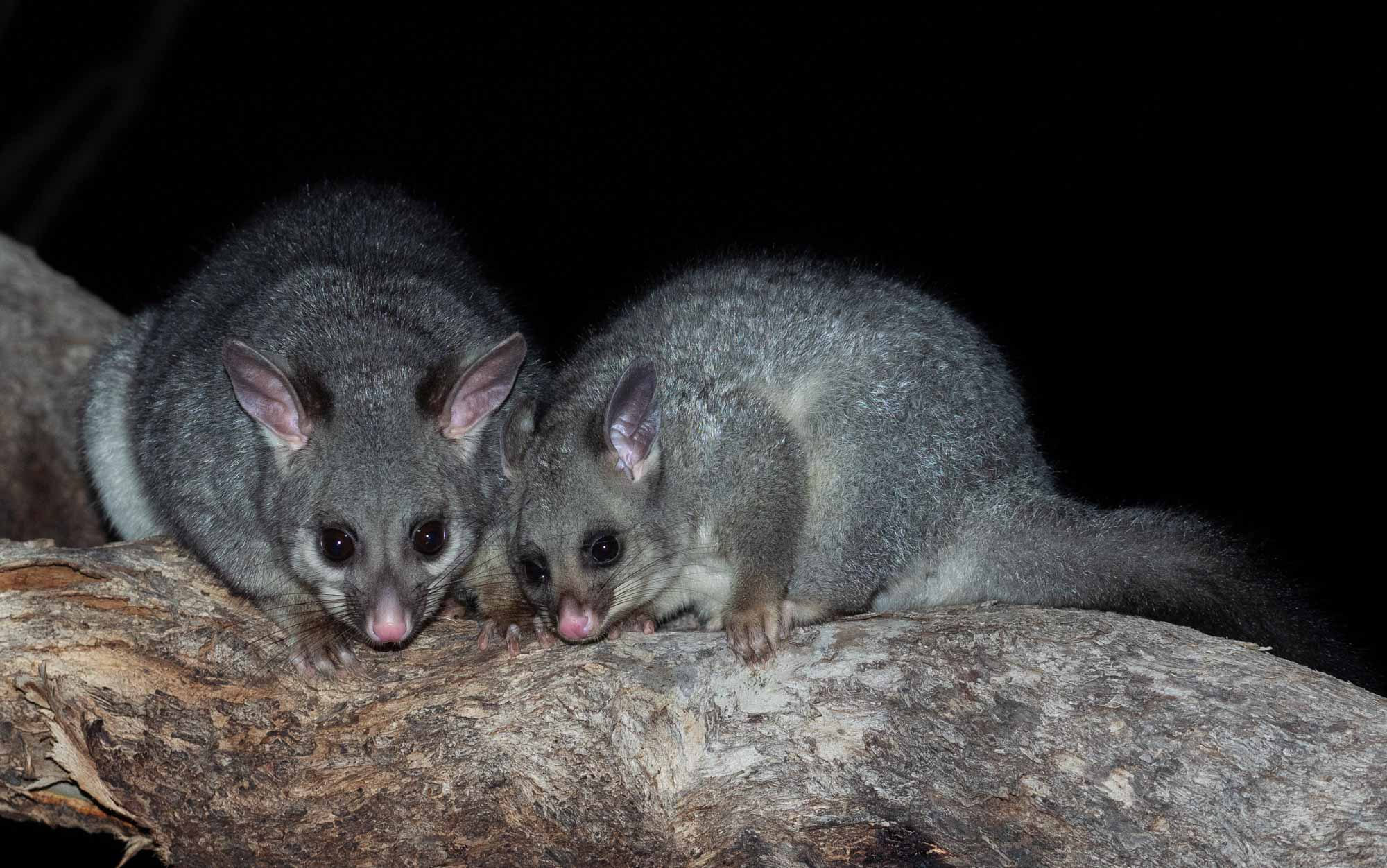 Brushtail Possums - mother and young one