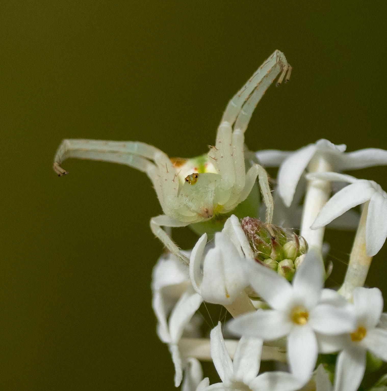 Red-tipped Crab Spider ( Sidymella rubrosignata ) … photo taken 16th Nov, on the same flower