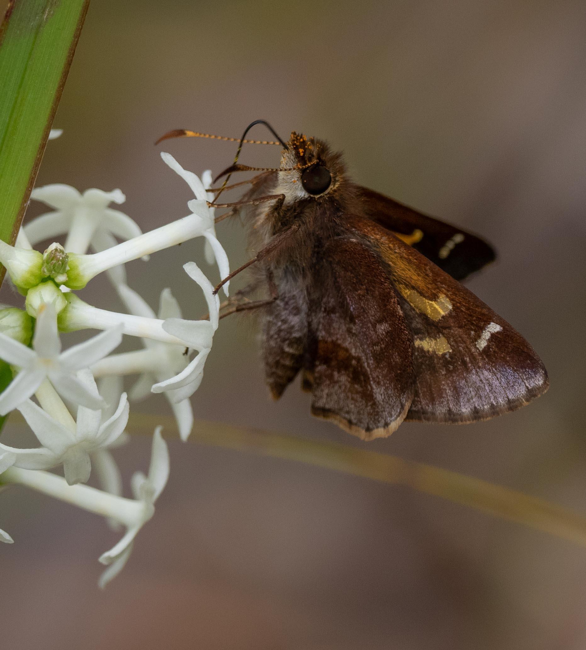 Lilar Grass-skipper butterfly