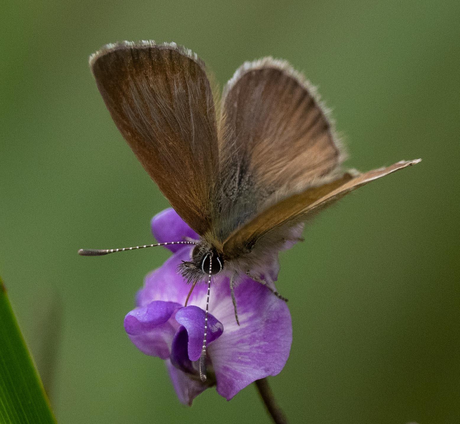 Dull Heath Blue butterfly