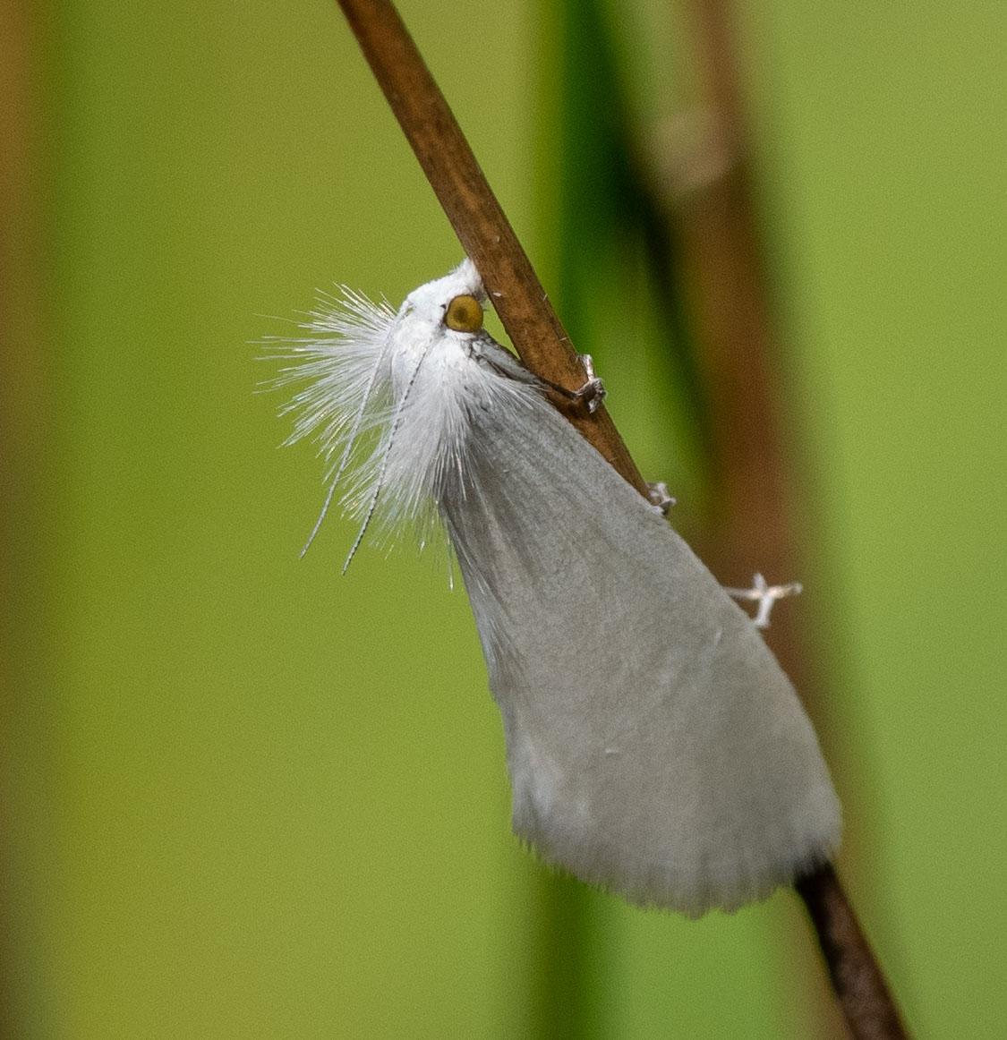 rush-boring moth