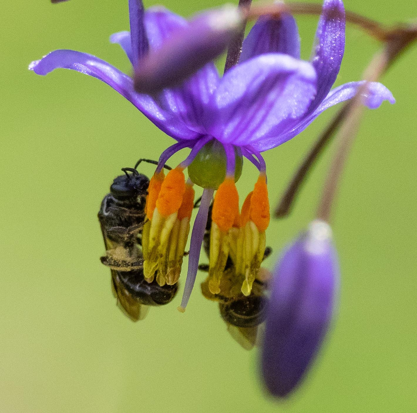 Small female bees (~5mm long) working the anthers of  Dianella  flowers