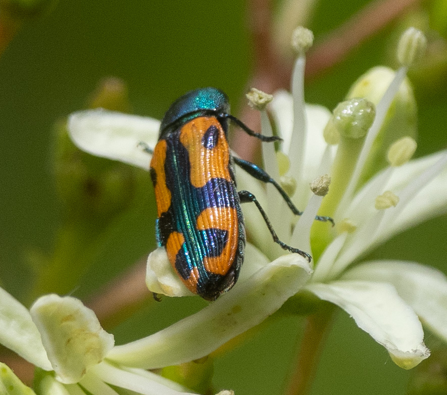This Jewel Beetle was allowed only a few seconds on the bush before the bee chased it off.