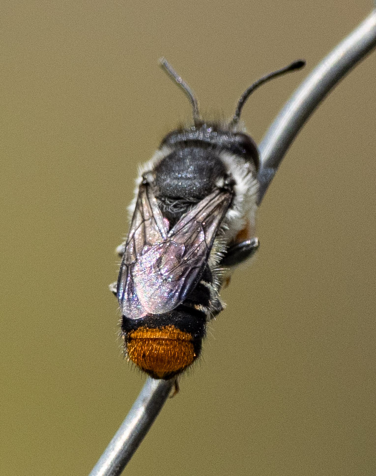 note the spatulate antennal tip ...