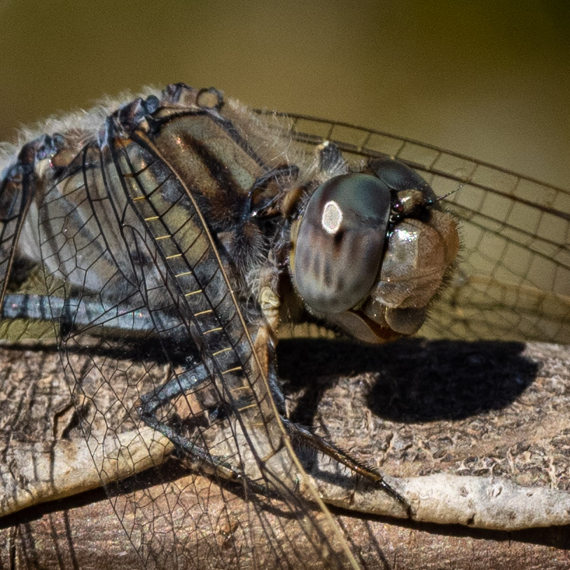 Blue Skimmer - male