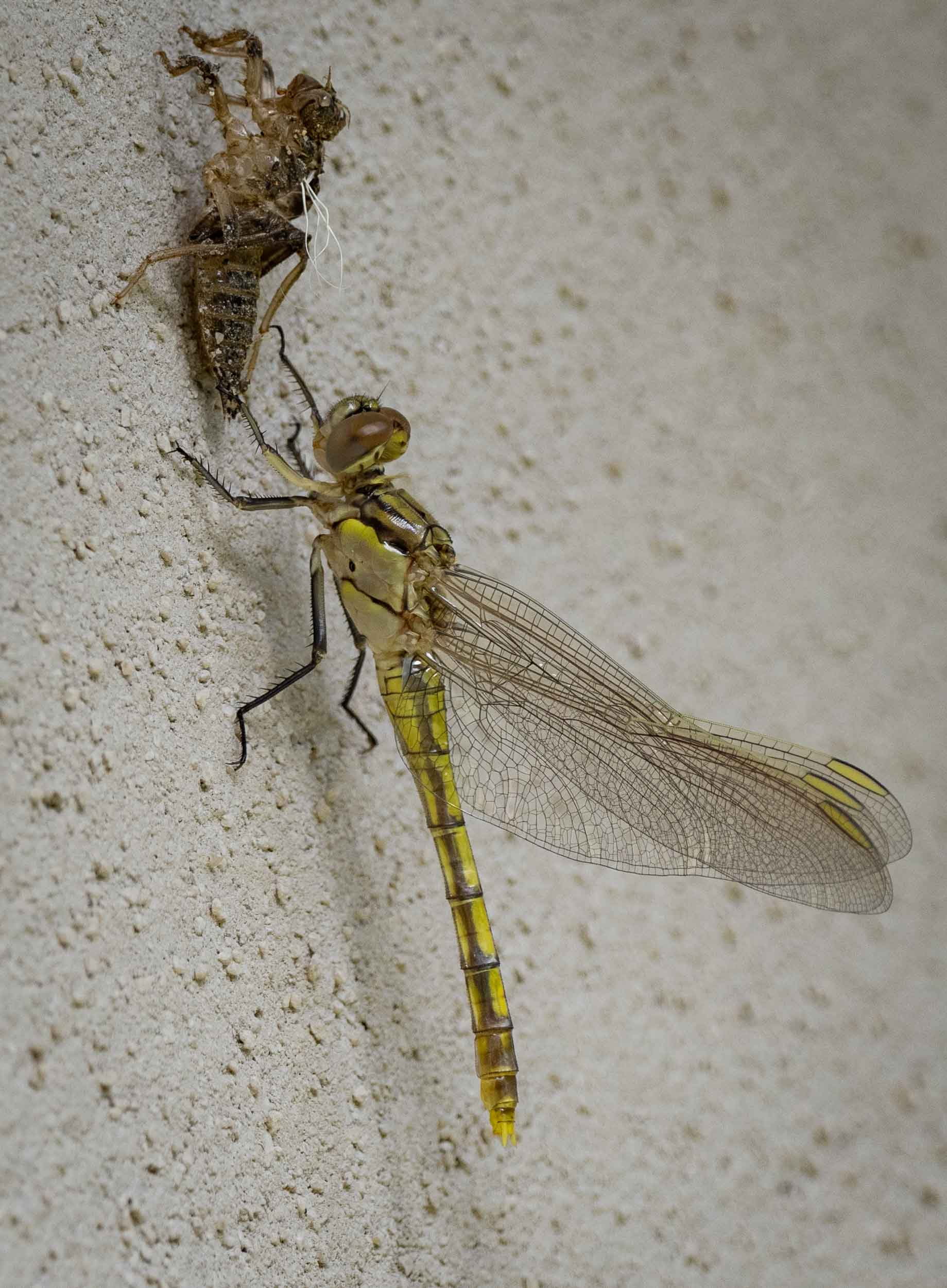 22/12/18: newly eclosed Blue Skimmer ( Orthetrum caledonicum ). She took her maiden flight just seconds after this photo was taken.