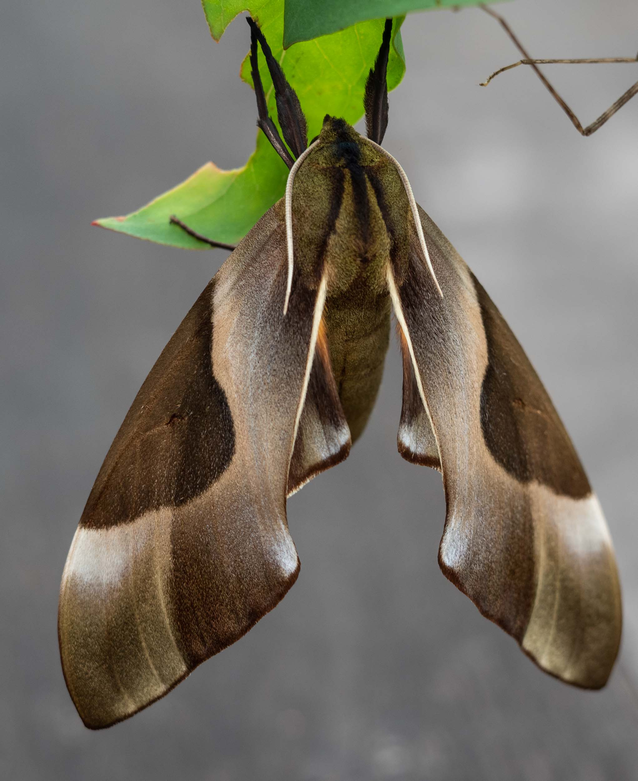 Double-headed Hawk Moth ( Coequosa triangularis ) - having emerged from its pupal shell just hours before.