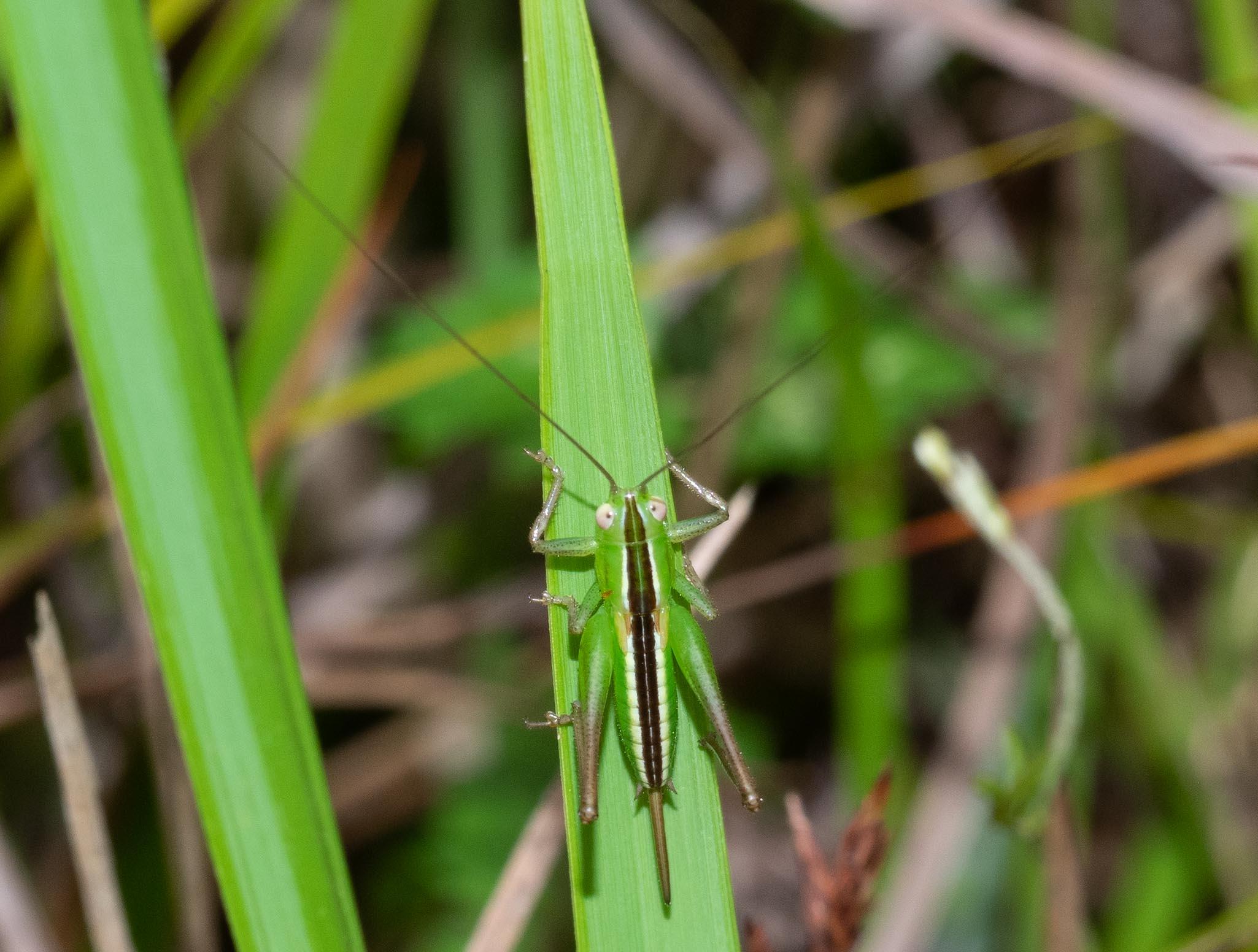 Conocephalus semivittatus (Blackish Meadow Katydid)