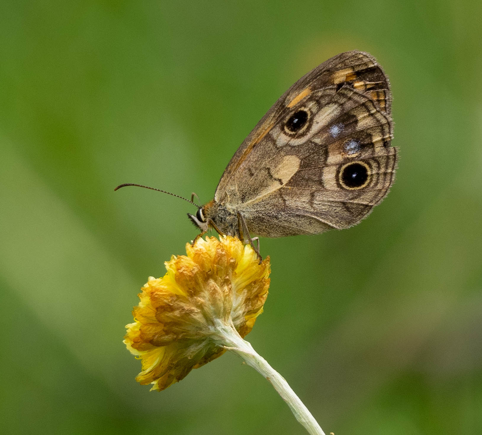 Bright-eyed Brown butterfly