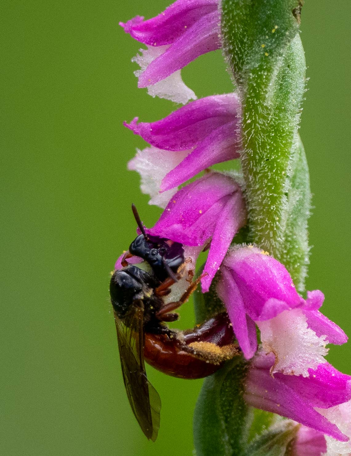 Exoneura bee feeding on orchid