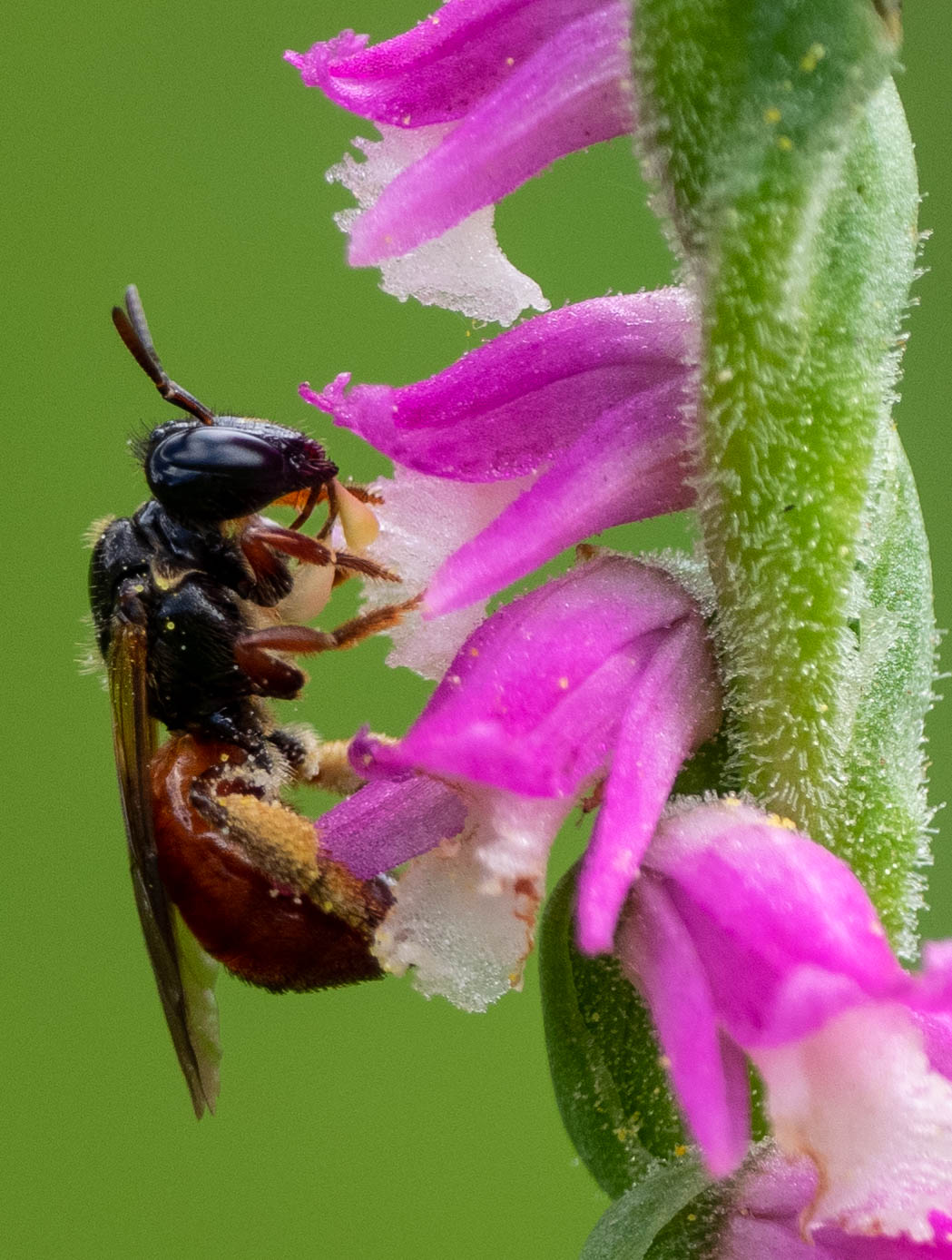 bee with orchid pollinia attached