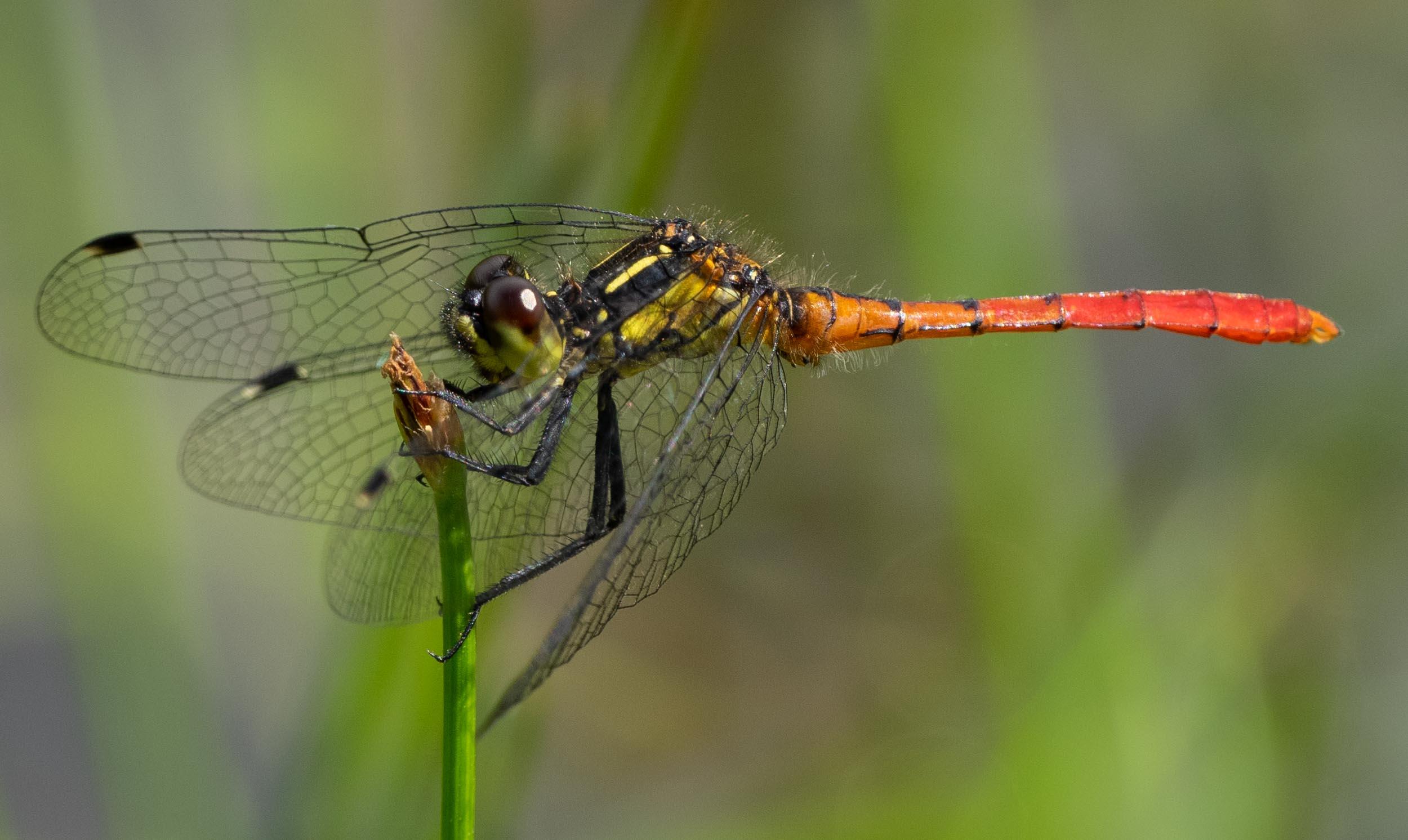 Eastern Pygmyfly