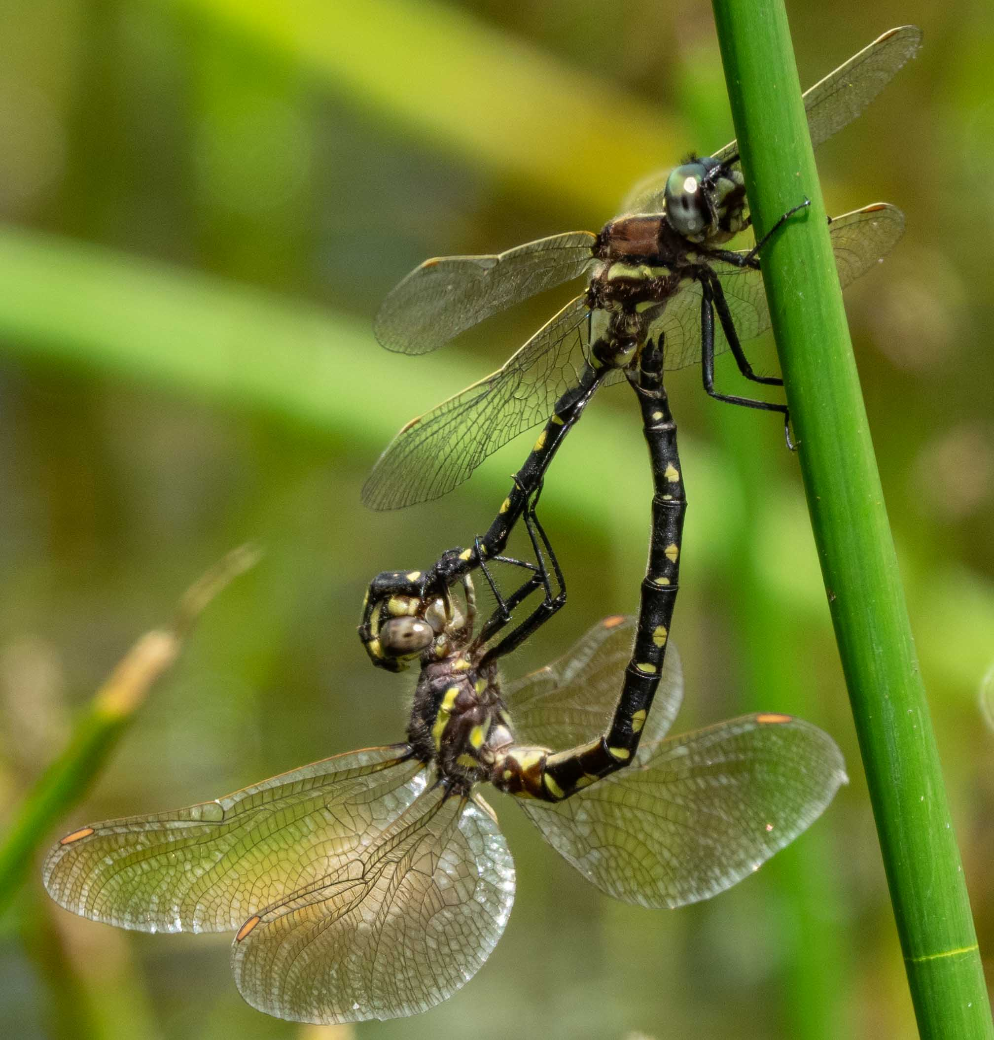 Swamp Tigertail pair